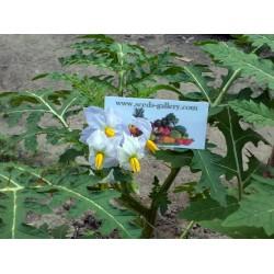 Graines de Morelle de Balbis (Solanum sisymbriifolium) Seeds Gallery - 10