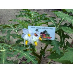Litchi Tomatensamen - Lulita (Solanum sisymbriifolium) Seeds Gallery - 10