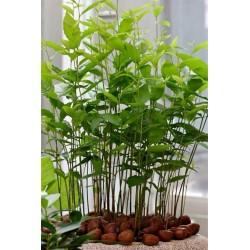 Pitomi Kesten Seme (Castanea sativa)