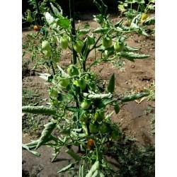 Sementes de tomate Italiano Fiaschetto Seeds Gallery - 6