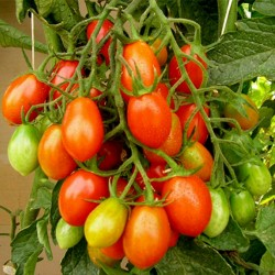 Piccadilly Plum Small Vine tomato Seeds  - 2