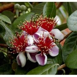 Semillas de Feijoa, Feijoas, Guayaba del Brasil