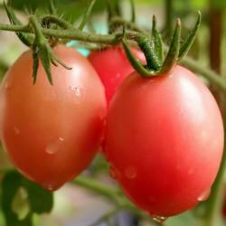Graines de tomates thaïlandaises authentiques Sida  - 4