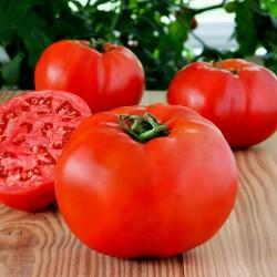 Graines de tomates hybrides de haute qualité Profit F1  - 2