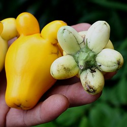 Nipplefruit Seeds - Cow's udder (Solanum mammosum)  - 2