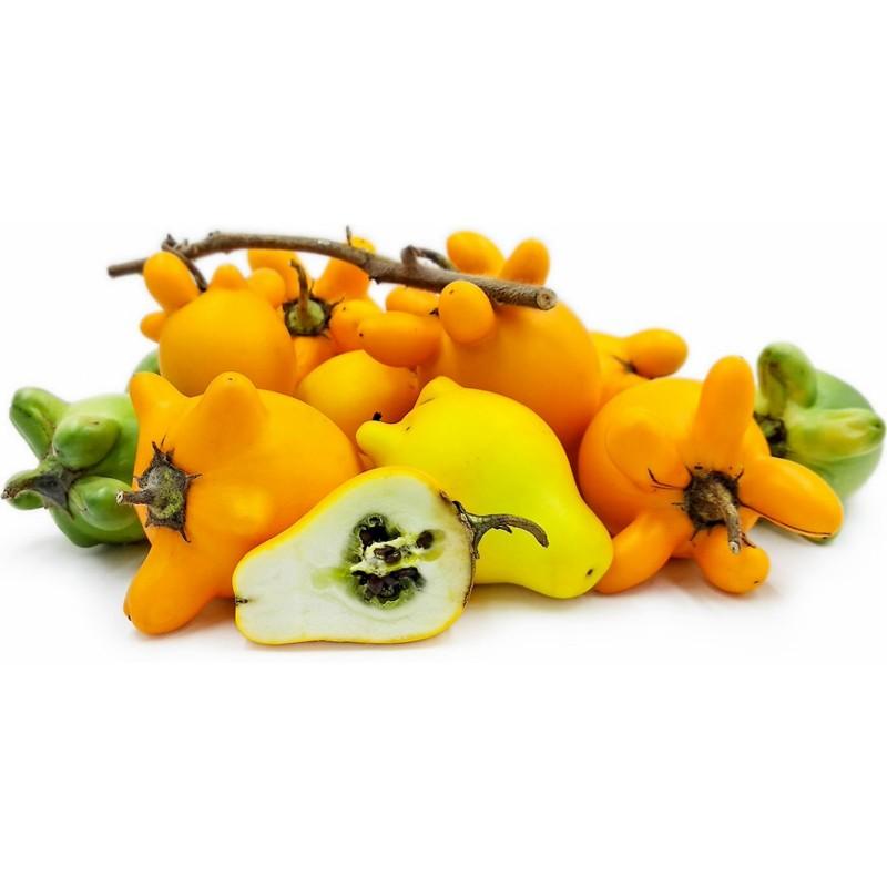 Graines de Pomme-téton (Solanum mammosum)  - 4
