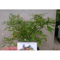 Chili Samen Tepin Chiltepin C annuum var glabriusculum