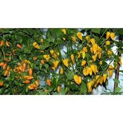 Fatalii Chili Seeds