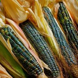 Graines de Maïs 'Vert d'Oaxaca'  - 2