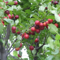Sementes de Ameixeira dos jardins Seeds Gallery - 2