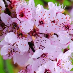 Σπόροι Προύνος δέντρο - Καλλωπιστική Δαμασκηνιά Seeds Gallery - 3