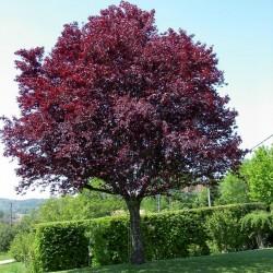 Σπόροι Προύνος δέντρο - Καλλωπιστική Δαμασκηνιά Seeds Gallery - 4