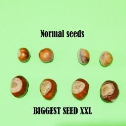 Sementes Avelã é o fruto da aveleira (Corylus avellana)  - 3