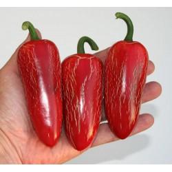 Chili Samen 'Jalapeno M' (Capsicum annuum)