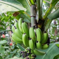 Musa acuminata Banane Samen, Bananenbaum, Bananenpalme  - 1