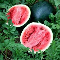Sugar Baby Wassermelone Samen  - 1