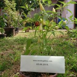 Sementes de pimentão Branco LANÇA  - 2