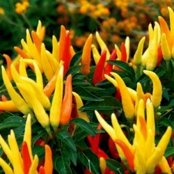Riot Chili Seeds Organically Grown  - 5