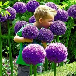 Riesen Lauch Samen Winterhart (Allium Giganteum)  - 1