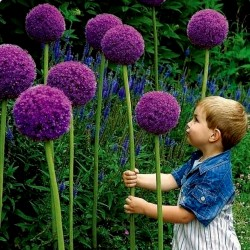 Riesen Lauch Samen Winterhart (Allium Giganteum)  - 2