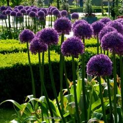 Allium Giganteum Seme - Globemaster  - 3