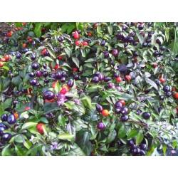 Σπόροι τσίλι 'Filius Blue'