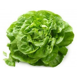 Head Lettuce Seeds Novosadska Majska  - 2