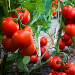 بذور الطماطم Gruzanski الذهبي  - 2