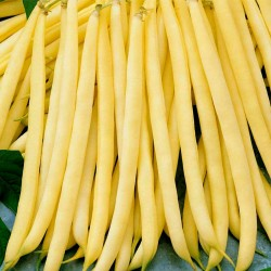 Fortal yellow french bean seeds  - 3