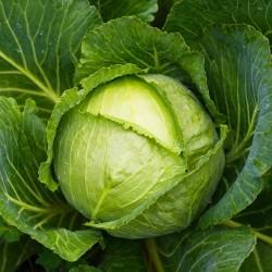 Cabbage Seeds Descendant F1  - 2