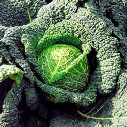 Savoy Cabbage Seeds Vertus  - 2