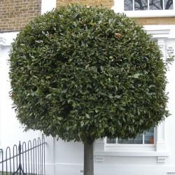 Sementes Loureiro ou Louro (Laurus nobilis)  - 5