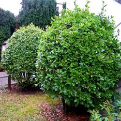 100 Seeds Bay Laurel, bay tree, true laurel (Laurus nobilis)  - 4