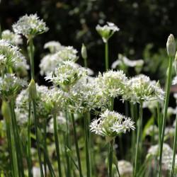 Semi di AGLIO CINESE (Allium tuberosum)  - 1