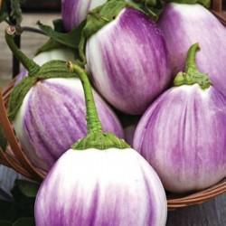 Aubergine – Eggplant Seeds Rosa Bianca Seeds Gallery - 2