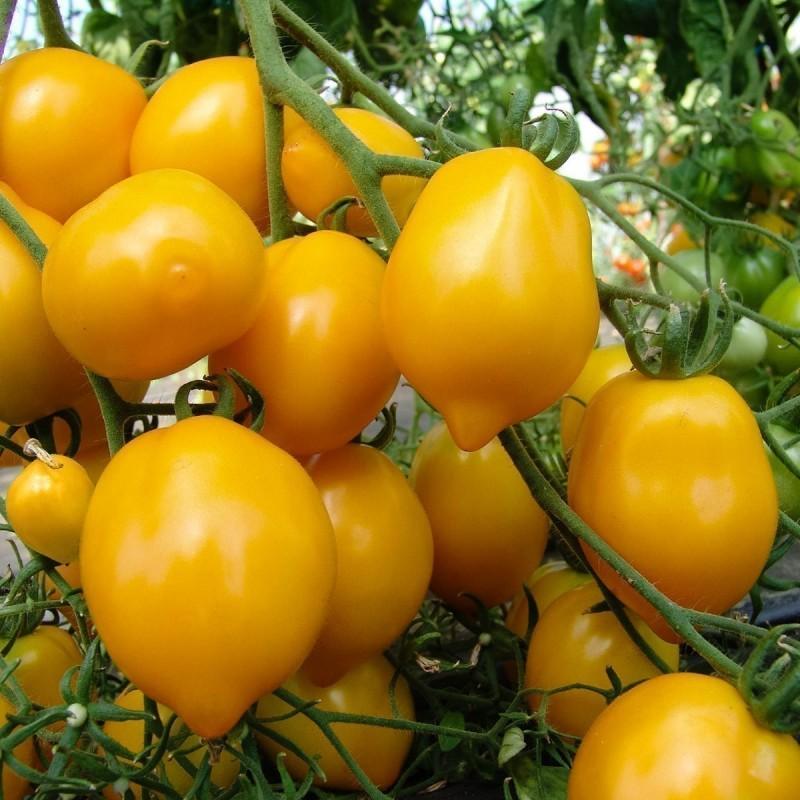 Semi di pomodoro Lemon Plum