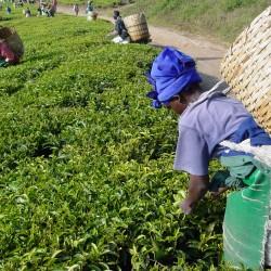 Graines de théier (Camellia...