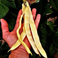 Seme boranije Budina Pijaca