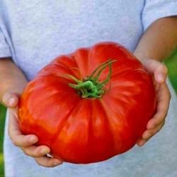 Sementes de tomate Tres Cantos
