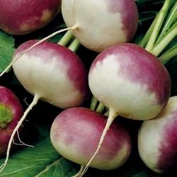 Hungarian Sugar beet seeds...