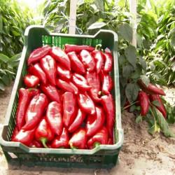 Galaxy bell pepper seeds