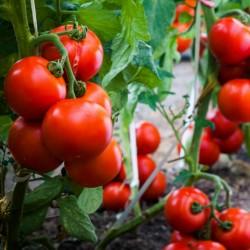 Tomato Seeds Kecskeméti 3 F1