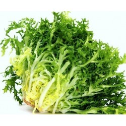 Endivia ''De Ruffec'' Salatsamen (Cichorium endivia)