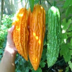 Bitter Melon Seeds...
