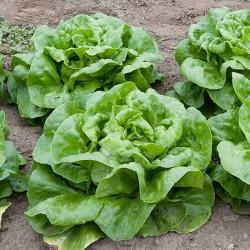 Butterhead Lettuce Seed...
